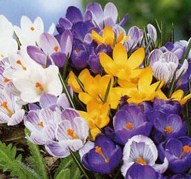 http://www.valentine.gr/images/Crocus_DutchMix.jpg
