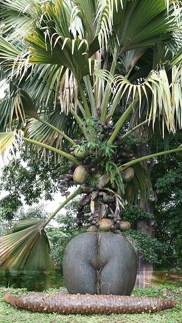 Coco de mer lodoicea malica plant male flower fruit