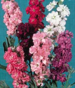 Very fine range of colorful, fragrant flowers bloom on vigorous, branching plants.