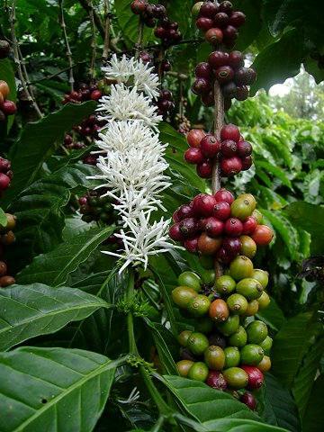 Link of the month - Coffea arabica ...