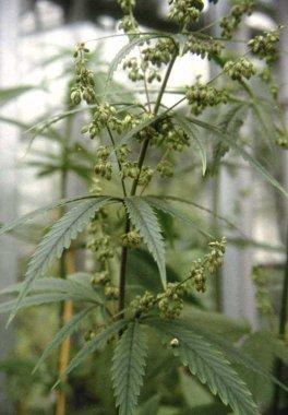 Αρσενικό φυτό κάνναβης σε ανθοφορία