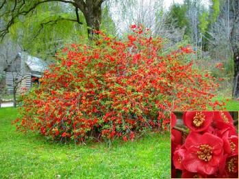 Τσιντόνια - (chaenomeles japonica speciosa)