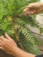 Trimming ferns