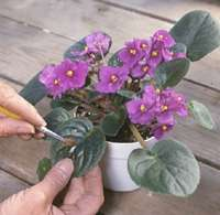Removing dust from African violets