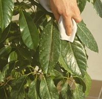 Removing dust from large plants