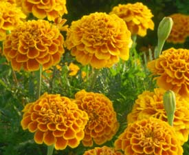 marigolds.jpg (16759 bytes)