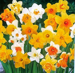 http://www.valentine.gr/images/narcissus_naturalizing_mix2.jpg