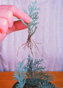rooted conifer cutting, use for conifer hedge