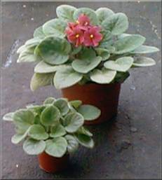 Single purple flower African Violet and young cutting/plant