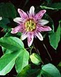 CB057019 - Purple and White Passionflower