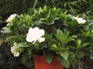 White Gardenia Room Scent